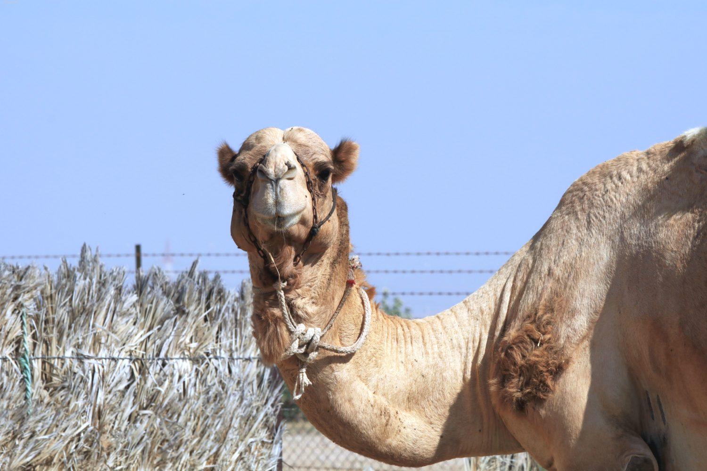Kamelbegegnung ©Horst Reitz
