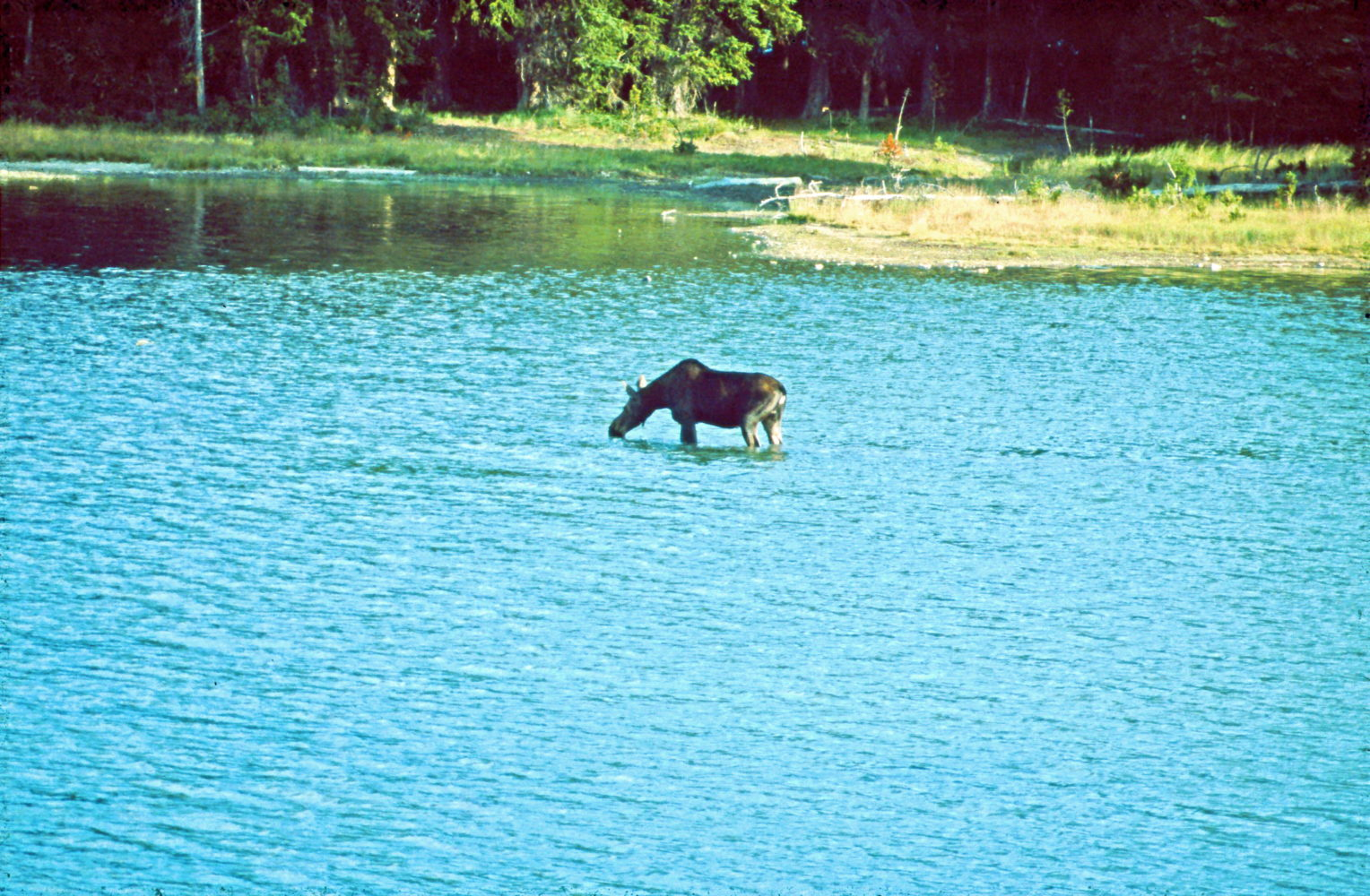 Elch trinkt im See © HorstReitz1992