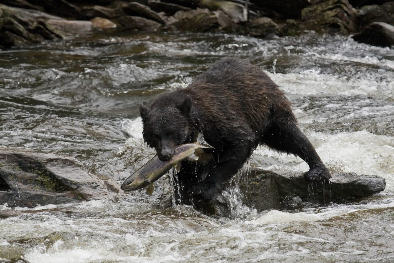 Grizzly Bär beim Lachsfang 123RF
