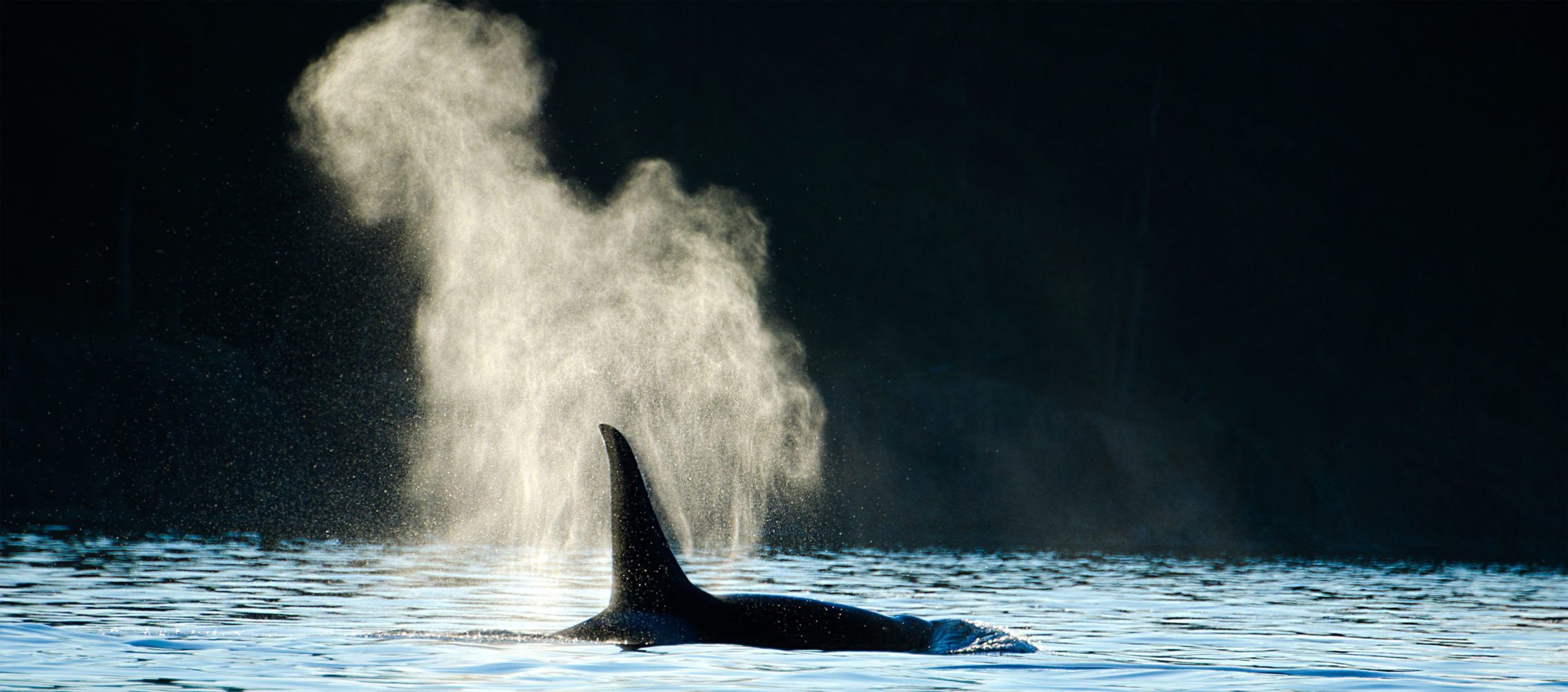 Wal Kanada Victoria Orca Killer Whale Blowing ©123RF