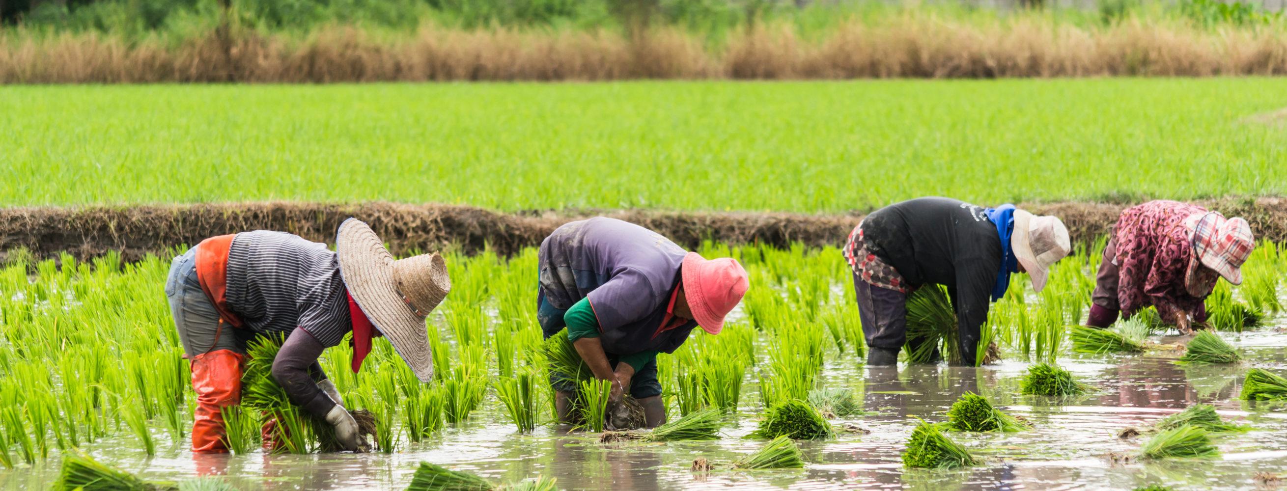 Vietnam Landarbeiter bei der Reispflanzung © 123RF.com