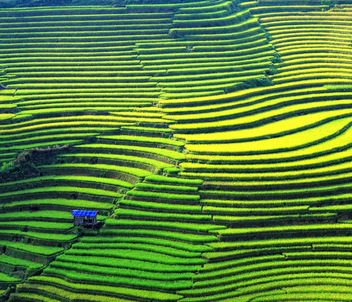 Rice fields on terraced in Vietnam